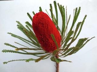 Australian wildflower red banksia