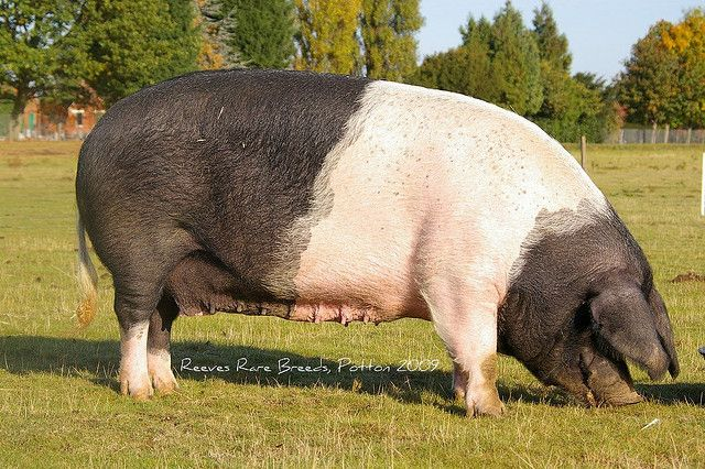 Reeves Rare Breeds, Potton - British Saddleback  The British Saddleback is a breed of domestic pig created in the 20th century from the amalgamation of two similarly-coloured breeds, the Essex and Wessex Saddleback.
