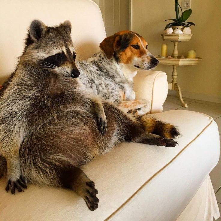 Ce raton laveur sest fait adopter par une famille... et il se prend maintenant pour un chien!