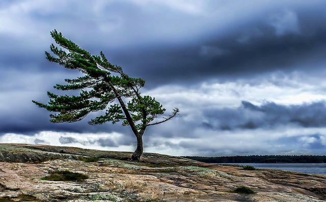 Windswept Pine Tree @ Killbear Provincial Park, Ontario by B.E.K., via Flickr
