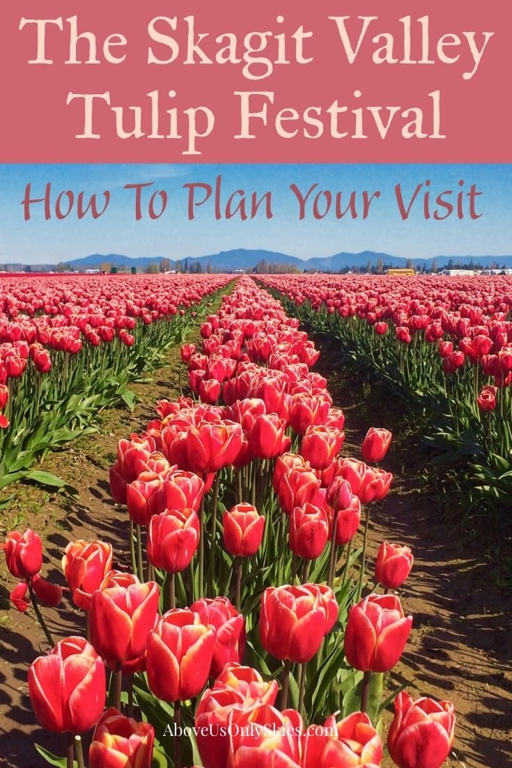 The Skagit Valley Tulip Festival How To Plan Your Visit Above Us Only Skies In 2020 Skagit Valley Tulip Festival Tulip Festival Skagit Valley