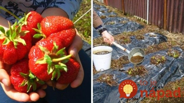 Chcete bohatú úrodu jahôd? Dajte im tento elixír života z kuchyne a odvďačia sa vám záplavou veľkých plodov!