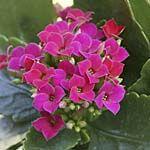 Kalanchoe blossfeldiana (Quelle: imago/Arco Images)