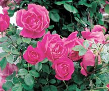 The Antique Rose Emporium - easy to grow fragrant roses. Durable, time tested, cream of the crop varieties not the fussy grafted modern rose varieties.