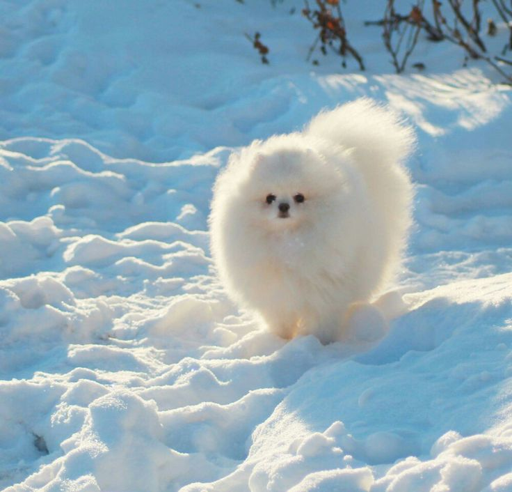 Wonderful Pomeranian Anime Adorable Dog - b1317f372546d8a0db16e1e880cd954d--pomeranian-boo-girly-stuff  Pictures_68622  .jpg