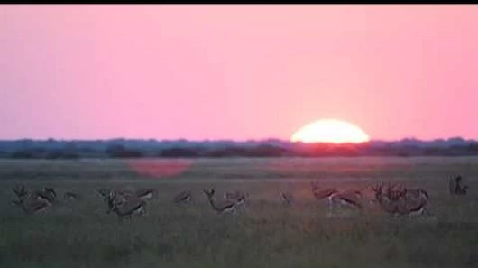 Hard to beat Botswana's Central Kalahari Game Reserve at sunset. Watch these springbok pronk at last light!
