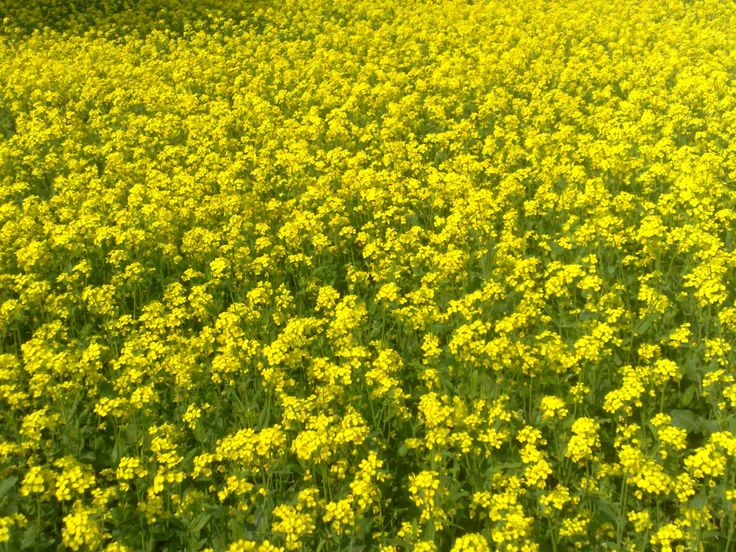 Nutritional And Health Benefits Of Mustard Greens And Mustard Seeds