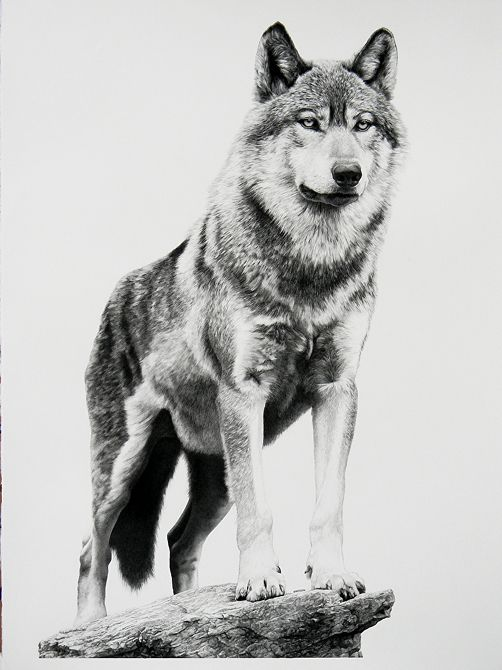 01-Alpha-Wolf-William-Bill-Harrison-Majestic-Wildlife-Carbon-Pencil-Drawings-www-designstack-co