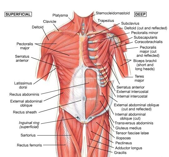 39 best Anatomy images on Pinterest | Human anatomy, Physical ...