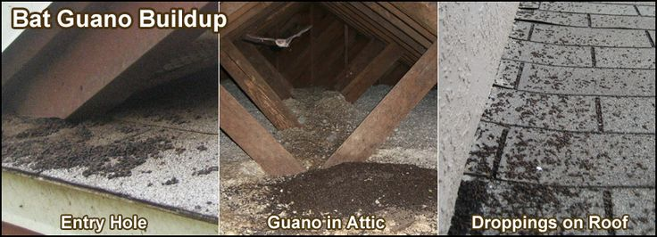 Bats In the Attic - How to Safely and Humanely Remove and Get Rid of Bats in Buildings