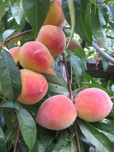 How to Grow Peach Trees in Texas - a list of what to do to peach trees to keep them producing.  I was told by the guy at the Garden Shop the first year or two you plant peaches pull off the fruit to establish a better root system.