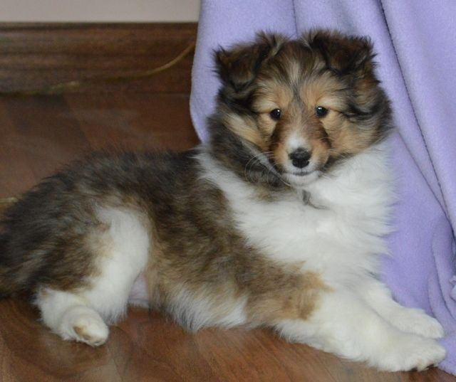 Shetland Sheepdog Puppies NY | Sheltie Puppies for Sale NY