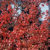 Proven Winners Red Wall Quinquefolia Virginia Creeper vine, turns red in fall with berries, deciduous, hardy in zone 9 & warmer. Grows fast and tall to cover a fence. Grows in partial shade to shade. BUT it's not hardy in my zone 7.
