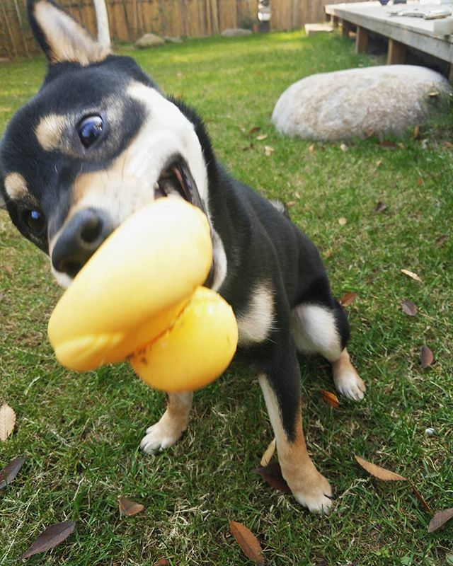 i know this is wrong,i shouldn't kill it but i can't control myself!!!🤣🤣🤣🤣💕💕 - - #shiba #shibainu #shibadog #blackshiba #dog #dogs #柴犬 #黑柴犬 #黑柴 #狗 #doglover #shibamania #shibastagram #しばいぬ #しばいぬだいすき #犬 #狗狗 #shibaken #puppy #cute #汪星人#柴犬マニア #柴犬大好き #shibalove #しばけん#ilovemydog #doginstagram #愛犬