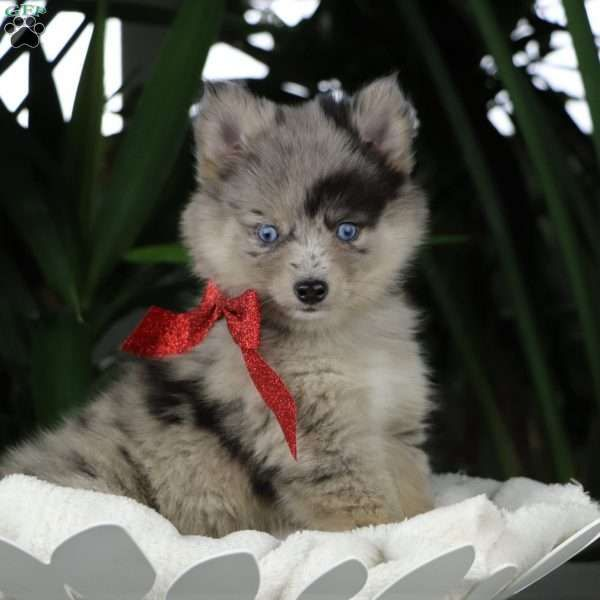 Noelle Pomsky Puppy For Sale In Ohio Pomsky Puppies Puppies