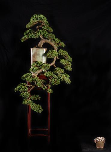 """Beautiful cascading juniper bonsai.  Give my specimen cascade """"nana"""" another"""" 10 years and I'm close.  Very nice Bonsai.  The pot and stand are wonderful very nice.  The tree remains the visual.  How old is this tree and is it Shohin or larger?"""