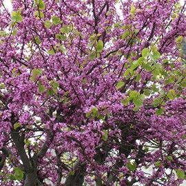 best 25+ arbre de judée ideas that you will like on pinterest