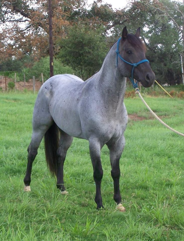 own a blue roan colored horse                                                                                                                                                                                 More