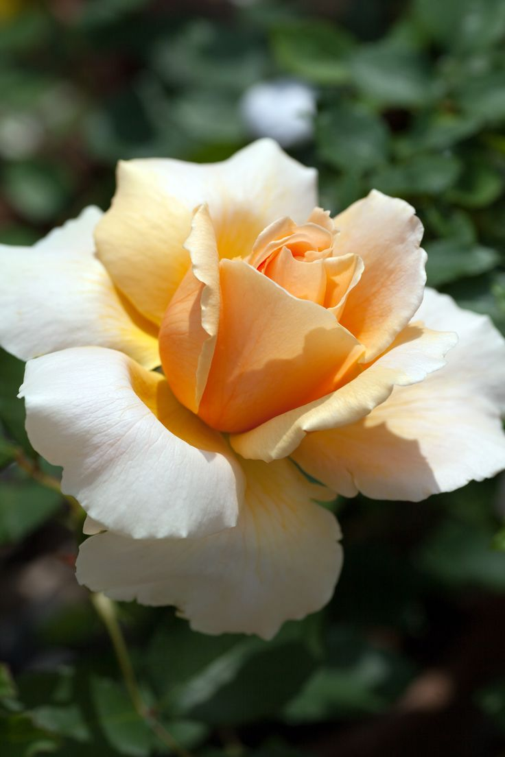 Hybrid Tea Rose: Rosa 'Just Joey' (U.K., 1972)