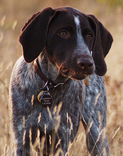 German shorthair pointer--my grandfather used to train these dogs for hunting on the plantations in SC back in the early 1920;s