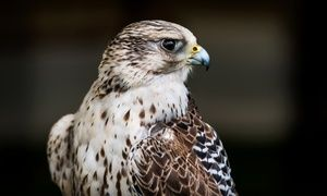 Groupon - Birds of Prey Experiences at Cape Fear Raptor Center (Up to 50% Off). 15 Options Available. in Rocky Point. Groupon deal price: $25
