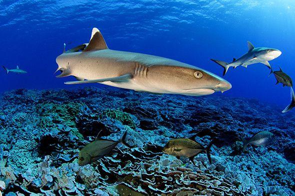 Pacific Treasure: Pitcairn Islands - Pitcairn Islands Marine Reserve