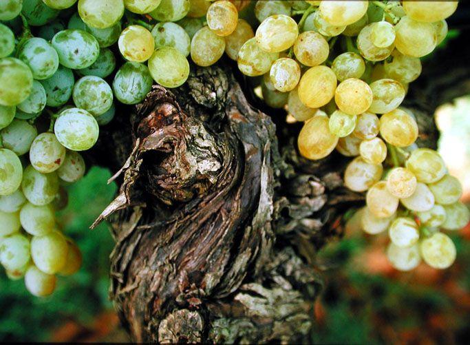 Grappoli di #chardonnay.. #Chardonnay #bunches..
