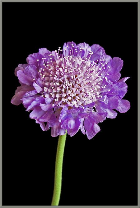A close-up view of the pin chusion flower, Scabiosa columbaria.