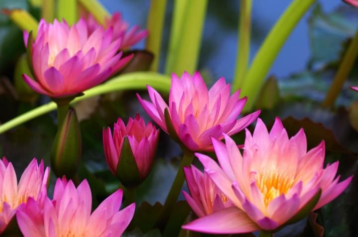 July birth flower, the water lily, The Old Farmer's Almanac