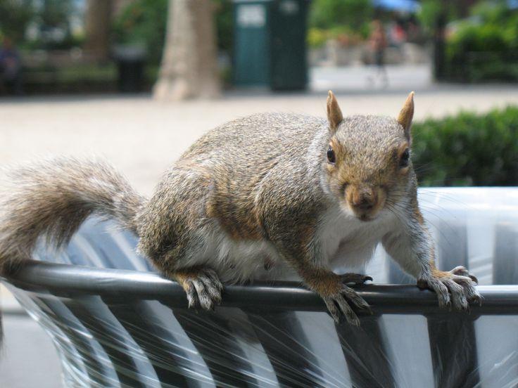 Het meestvoorkomende wild in Manhattan: de chipmunk (= eekhoorn). Je vindt ze in alle parken en natuurlijk het liefst bij de afvalbakken en bij de mensen. Grappige beestjes.
