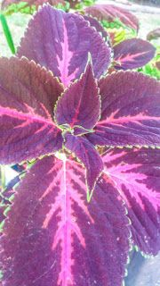 Photofusionvirtual: Planta hoja lila fondo celular