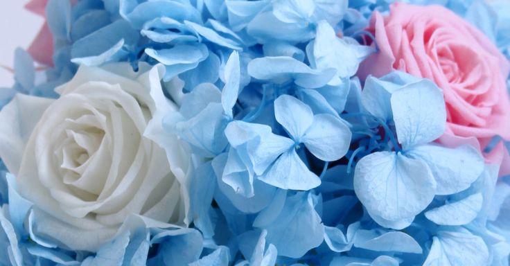 Hydrangea. Hortensia.