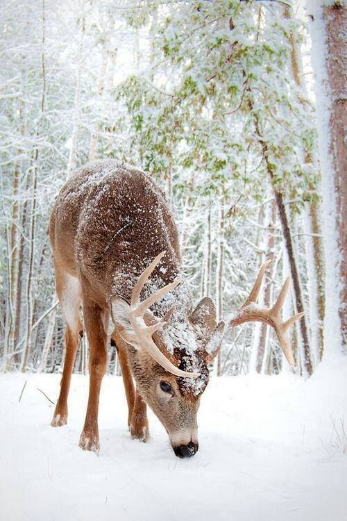 Cerf dans son manteau de neige