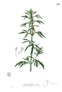 Leonurus japonicus (1 of the 50 fundamental herbs)
