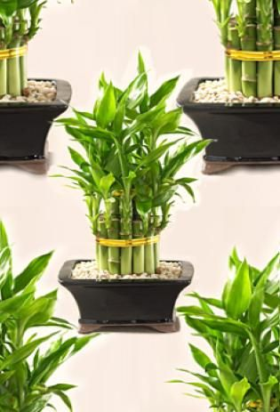A bamboo plant can enhance relationships