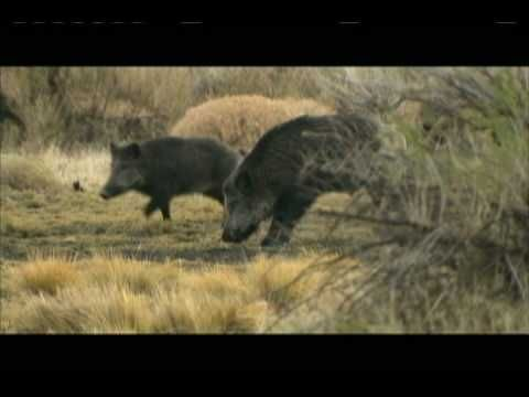 Buck kills a MASSIVE 400 LB. wild Boar while on safari in Argentina. This clip features a slow motion look at the bullet impact on a classic head shot. From 'THE OUTDOORSMAN WITH BUCK MCNEELY TV SERIES. Visit www.outdoorsmanint.com for DVD's and FREE E Memberships.