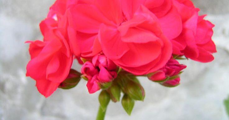 O significado do gerânio-vermelho. Os gerânios são plantas florescentes, com folhas recortadas ou rendilhadas e flores em tons vermelhos, róseos, brancos, salmão, lilás e outras cores mistas. Popular há décadas em casas e jardins, os gerânios em vasos acrescentam um toque de cor aos parapeitos das janelas e varandas frontais. Quando presenteados, o significado do gerânio-vermelho ...