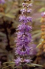 Vitex Agnus Castus Seeds