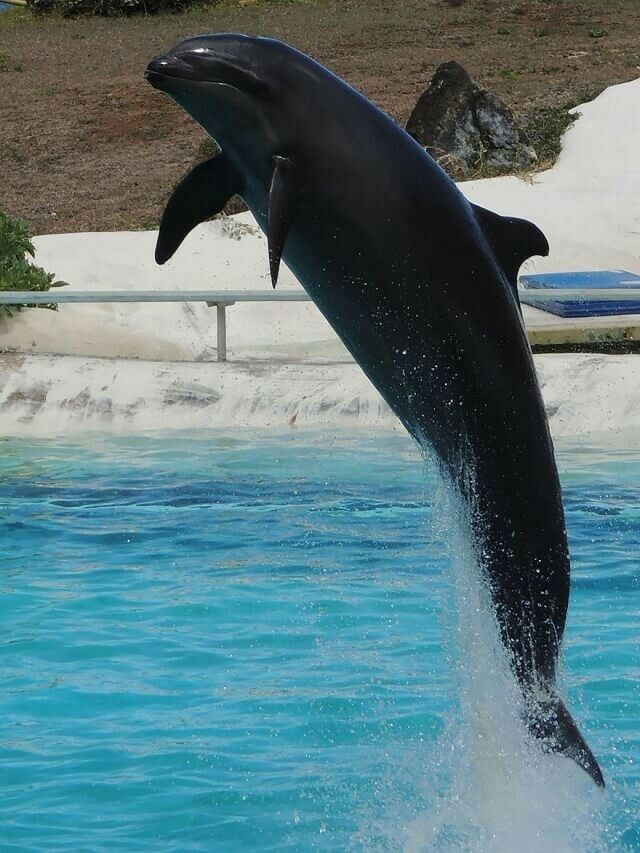 Wholphin (fausse orque et grand dauphin)