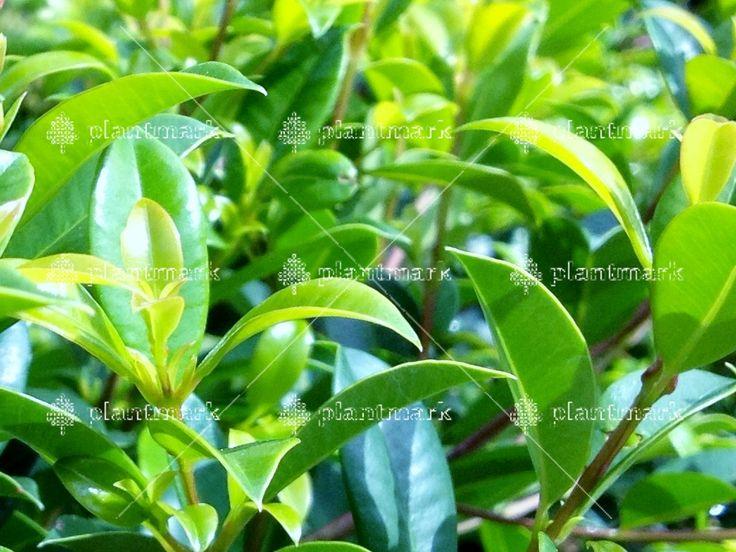 Syzygium Screen It