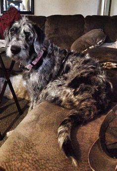 Great Danoodle (Great Dane X Poodle Mix) Info, Temperament, Puppies, Pictures