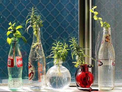 Rooting herbs in water