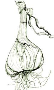 HOW TO MAKE GARLIC EAR OIL - Traditionally garlic oil is used for infections of bacterial or fungal origin, to aid in the treatment of inner ear infections, inner ear fluid and inner ear swelling. It can also be used in dogs and cat's ears for general cleaning and maintenance, or as a treatment for ear mites. In cases of inflammation, pain and infection, garlic oil is often combined 50/50 with Mullein oil, to compliment and broaden its healing capabilities.