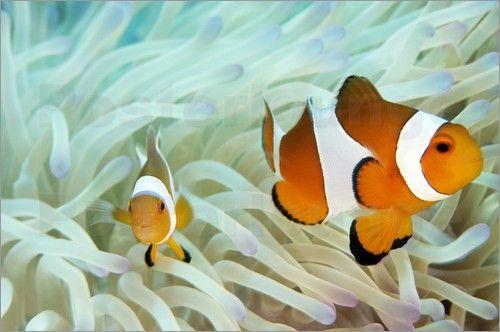 Falsche Clownfisch Bilder: Poster von Mauricio Handler bei Posterlounge.de