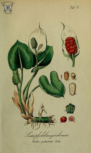 Calla palustris. Sammtlich Giftgewache Deutschlands (1854)