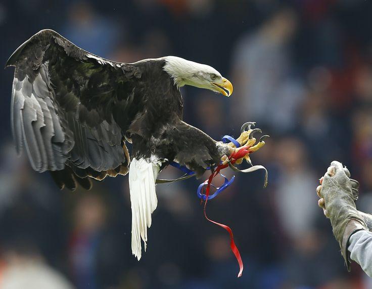 Mascot klub liga PremierCrystal Palace, burung elang bernamaKayla, terbang di stadion sebelum klub tuan rumah Crystal Palace menghadapi Manchester City di stadion Selhurst Park, London.