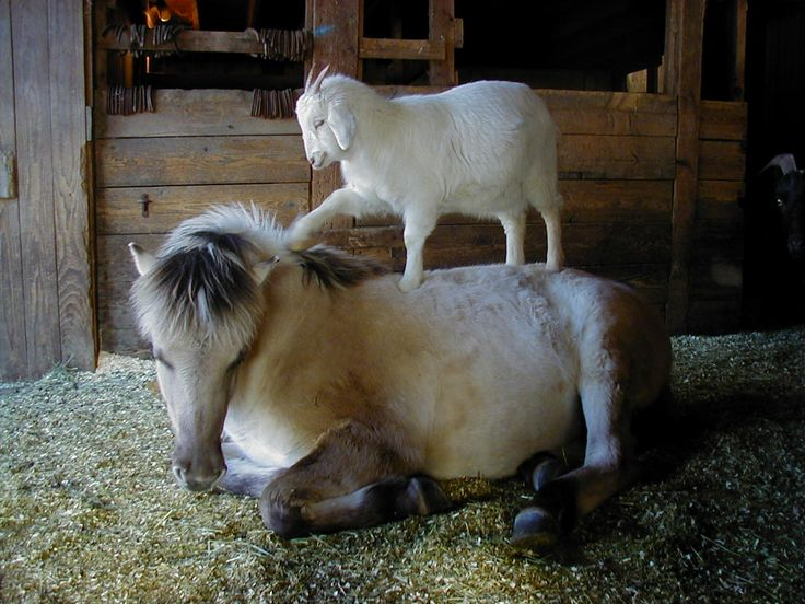 me too guys!Animalfriendship, Hair Stylists, Animal Friendship, Funny Animal Pictures, Ponies, Farms, Racing Horses, Baby Goats, Minis Horses