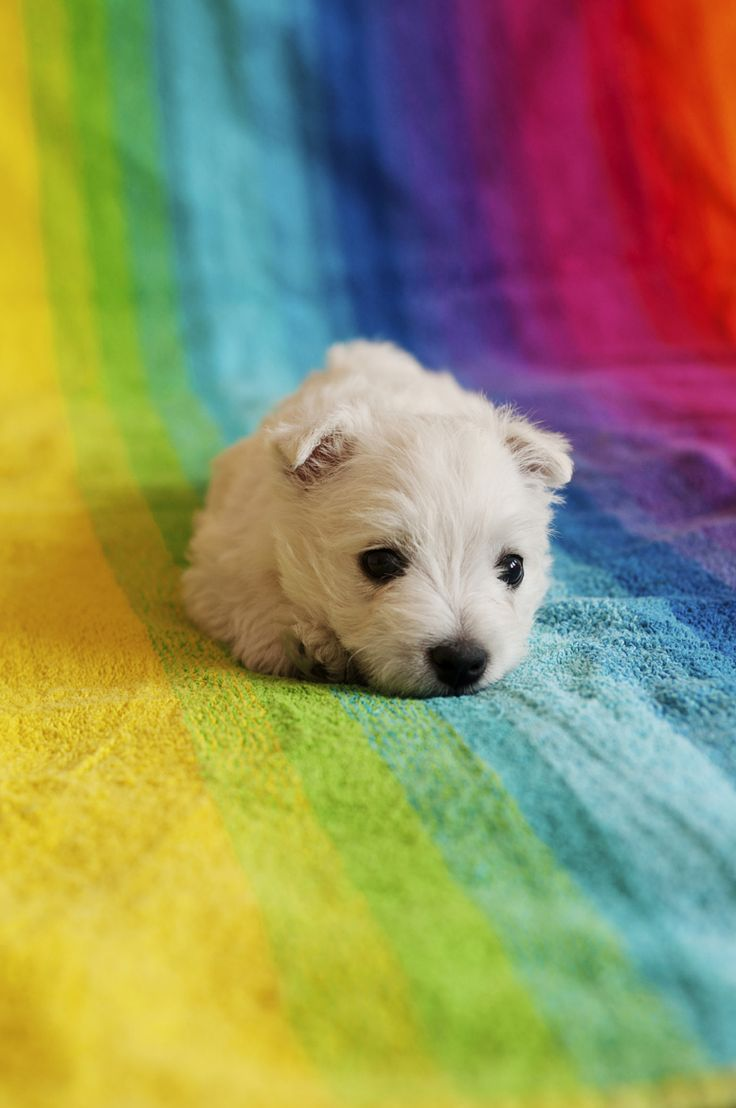 22 best fur babies images on pinterest puppys baby puppies and cubs - Imperial westies ...