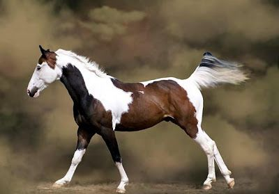 American Paint Horse Pictures