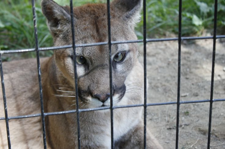 Fun Fact: Cougars are cross-eyed